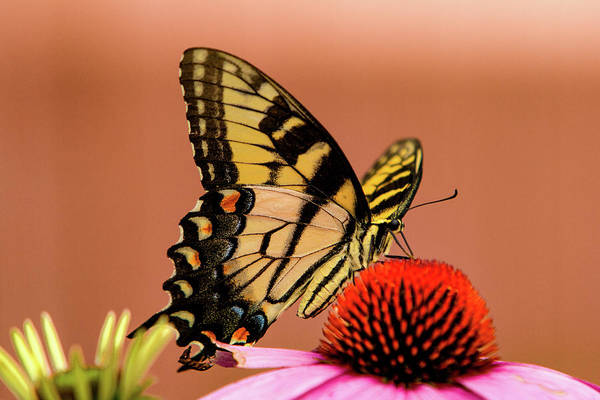 Photograph - Coneflower And Butterflies by Pete Federico