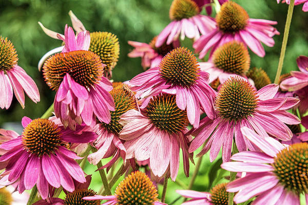 Photograph - Coneflower by Randy Bayne