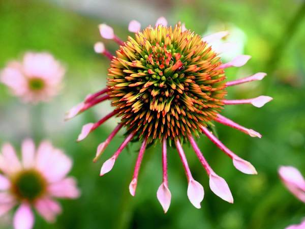 Wall Art - Photograph - Coneflower Series 1 by Alida M Haslett