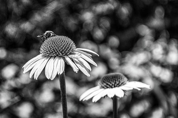 Photograph - Coneflower With Bee Bw by Randy Bayne