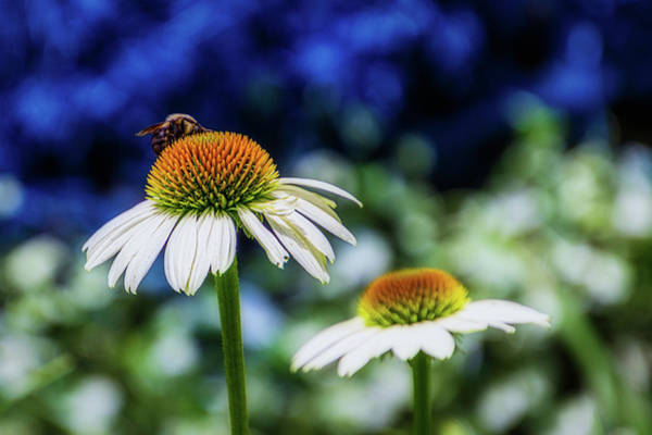 Photograph - Coneflower With Bee by Randy Bayne