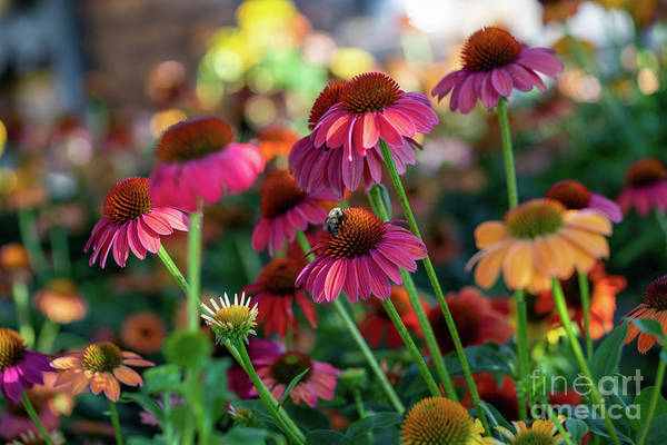 Wall Art - Photograph - Coneflowers by Cathy Donohoue