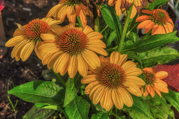 Photograph - Coneflowers  by Guy Whiteley