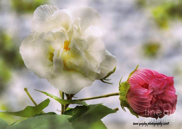 Photograph - Confederate Roses by Tami Quigley