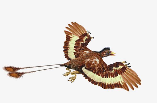 Prehistoric Era Wall Art - Digital Art - Confuciusornis, Pre-historic Bird by Dorling Kindersley