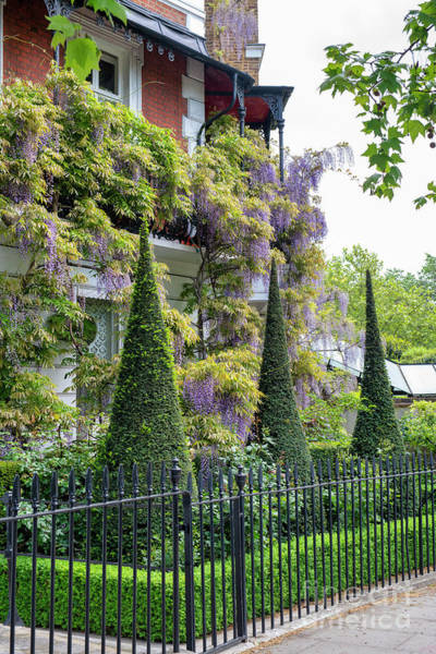 Wall Art - Photograph - Conical Topiary And Wisteria In Cheyne Walk Chelsea by Tim Gainey