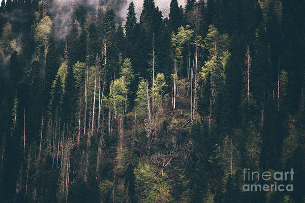 Wall Art - Photograph - Coniferous Forest Tree Background Foggy by Everst