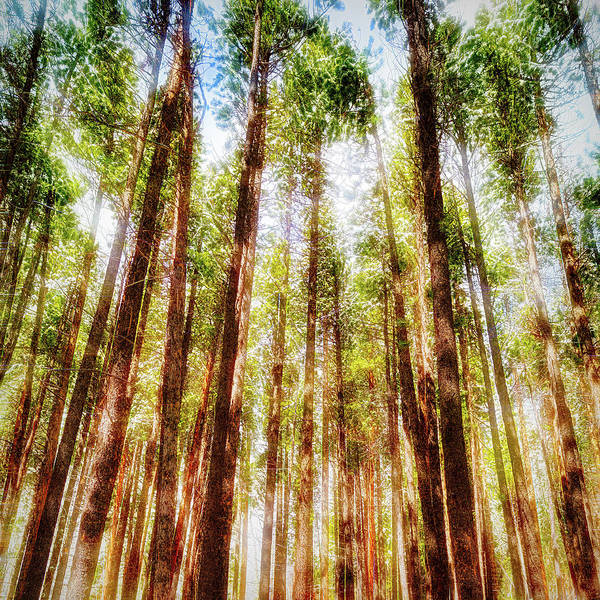 Wall Art - Photograph - Conifers - Painting 2 by Eric Glaser