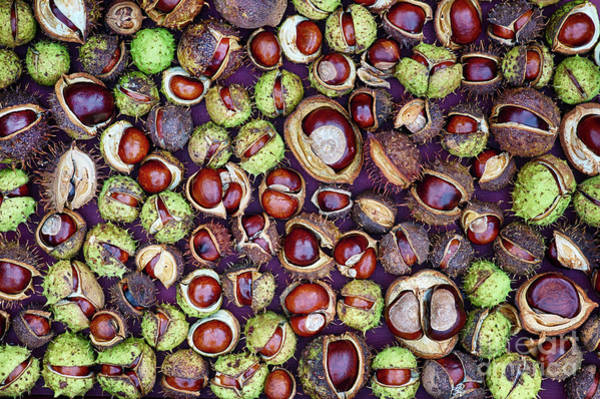 Photograph - Conkers by Tim Gainey