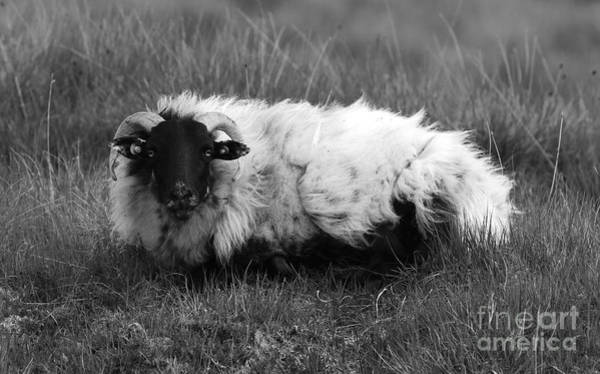 Photograph - Connemara Sheep Mono by Peter Skelton