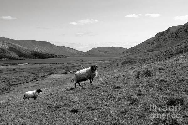 Lamb Photograph - Connemara Sheep by Olivier Le Queinec