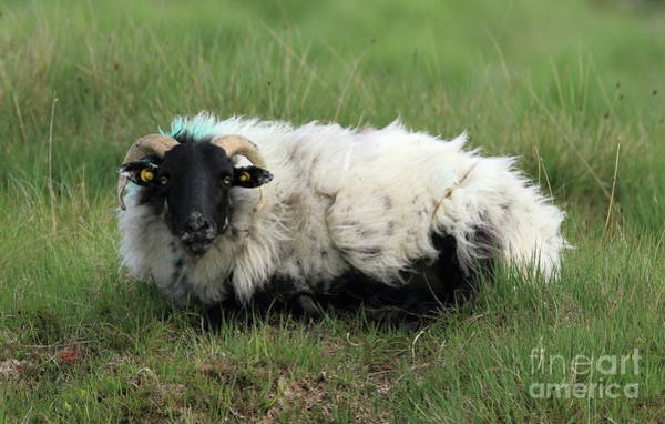Photograph - Connemara Sheep by Peter Skelton