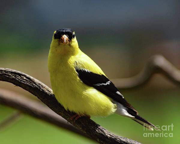 Wall Art - Photograph - Eye Contact - American Goldfinch by Cindy Treger