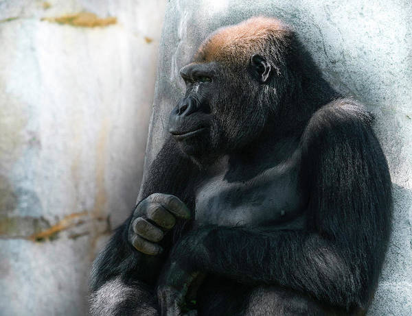 Monkey Photograph - Contemplation by Larry Marshall