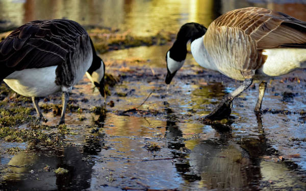 Photograph - Content Geese by Christina Maiorano