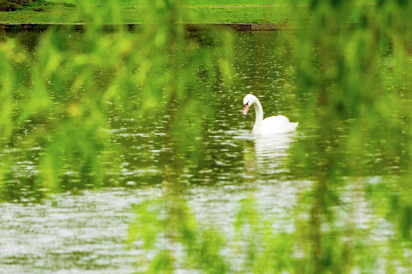 Photograph - Content Swan by Christina Maiorano