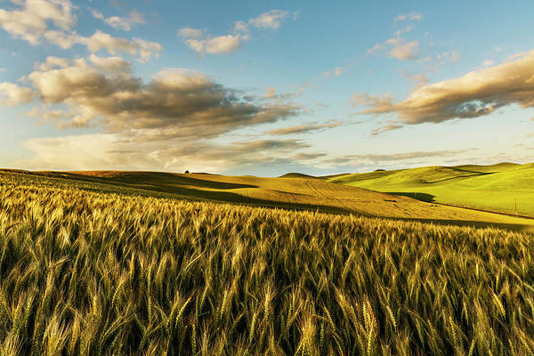 Wall Art - Photograph - Contoured Hills Of Wheat In Late by Adam Jones