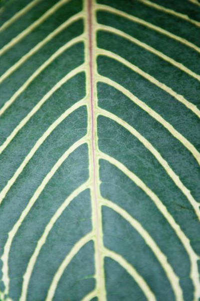 Photograph - Contrast Leaf Markings by Helen Northcott