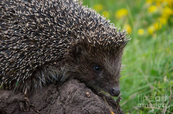 Alert Wall Art - Photograph - Cool Hedgehog On The Ground At Nature by Valery Kalantay