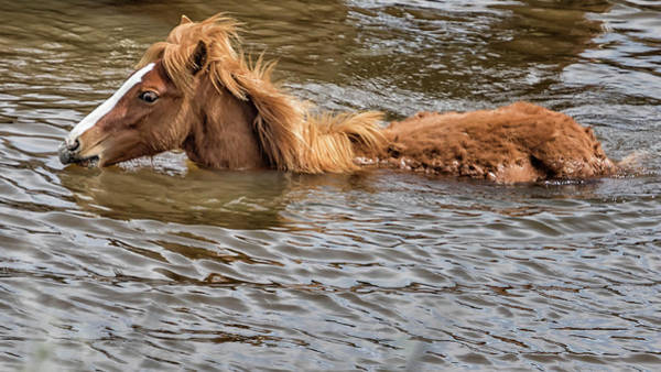 Photograph - Cooling Off With A Swim - South Steens Mustangs by Belinda Greb