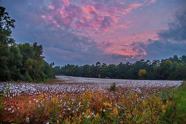 Photograph - Cooper Road Cotton Field by Matthew Irvin