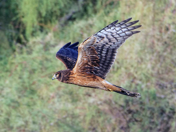 Photograph - Northern Harrier 1652-112018-1cr by Tam Ryan