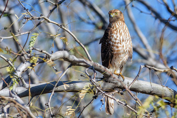 Photograph - Cooper's Hawk 9801-010419-1 by Tam Ryan