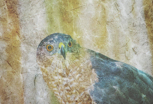 Digital Art - Coopers Hawk Cross Hatch Overlay by Keith Smith
