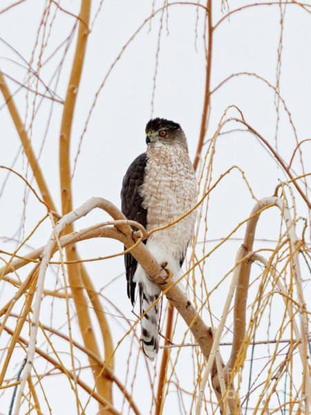 Wall Art - Photograph - Coopers Hawk by Mike Dawson