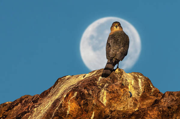 Photograph - Coopers Hawk With Moon by Rick Mosher
