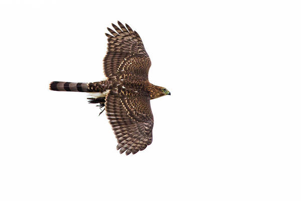 Wall Art - Photograph - Cooper's Hawk With Prey by Mircea Costina Photography