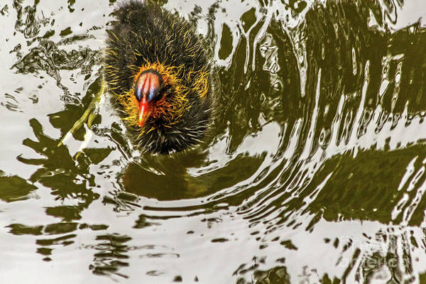 Photograph - Coot Chick And Reflections by Kate Brown