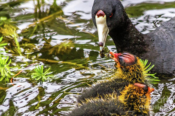 Photograph - American Coot Feeding Chick by Kate Brown