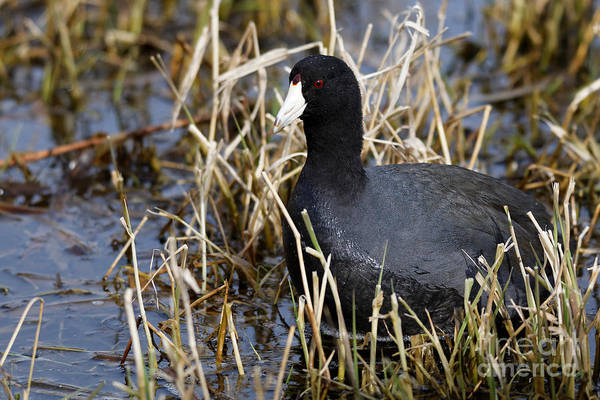 Photograph - Coot In The Marsh by Sue Harper