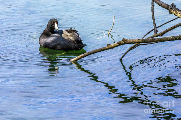 Photograph - Coot With Branches by Kate Brown