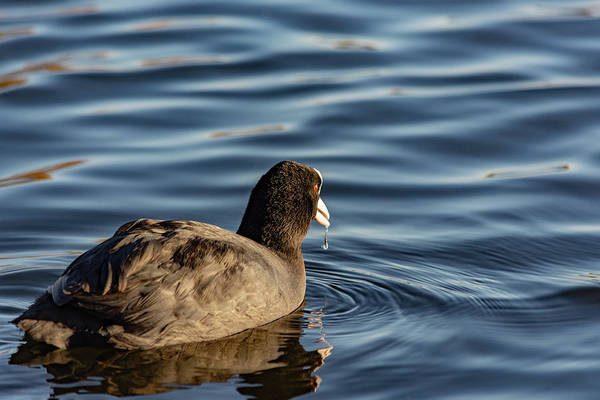Photograph - Coot With Water Dribbling by Scott Lyons