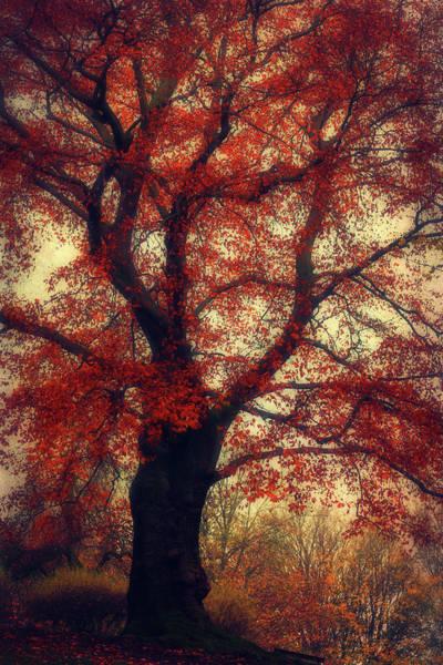 Photograph - Copper Beech Tree by Dirk Wuestenhagen