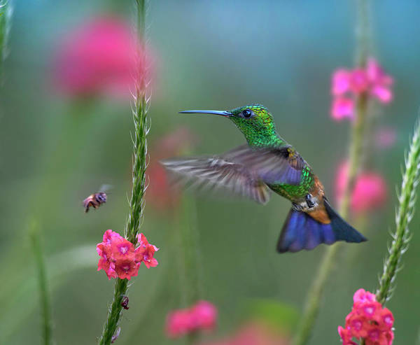 Wall Art - Photograph - Copper-rumped Hummingbird, Trinidad by Tim Fitzharris