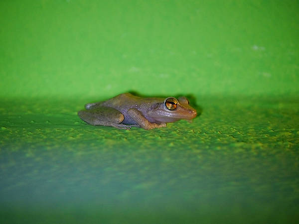 Photograph - Coqui by Richard Reeve