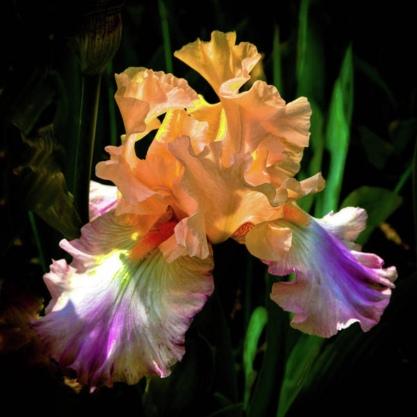 Photograph - Coral And Purple Iris by David Patterson