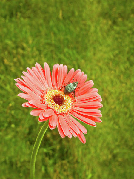 June Photograph - Coral Gerbera Daisy With A June Bug by Chris Stein