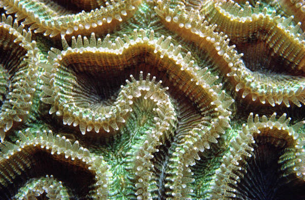 James Brown Photograph - Coral Polyps by James Gritz
