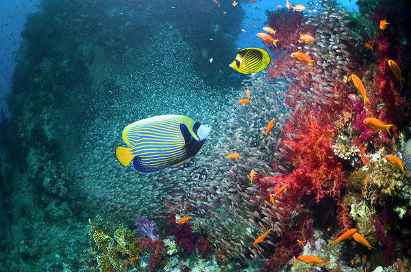 Raccoon Photograph - Coral Reef With Emperor Angelfish by Georgette Douwma
