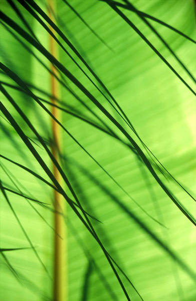 Vertical Garden Photograph - Cordyline Fronds In Front Of Banana by Will Giles - The Exotic Garden