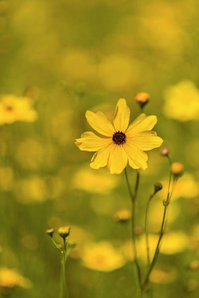 Wall Art - Photograph - Coreopsis, Commonly Known As Tickseed by Panoramic Images