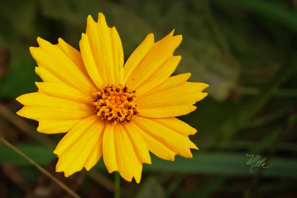 Photograph - Coreopsis by Meta Gatschenberger