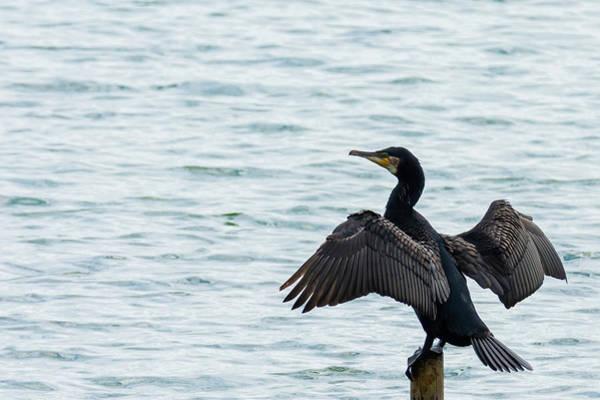 Photograph - Cormorant At Carsington by Scott Lyons