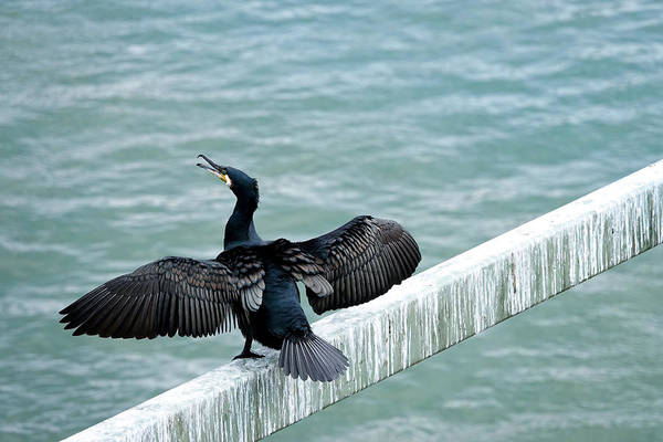 Photograph - Cormorant Roosting Place by Fran Riley