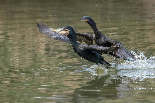 Photograph - Cormorants And Fish 4821-121118-1 by Tam Ryan