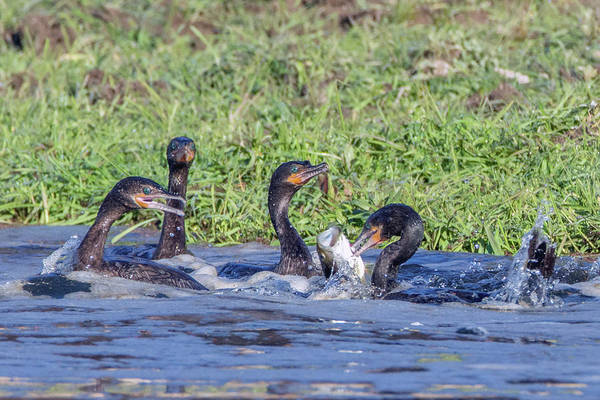 Photograph - Cormorants And Fish 5242-022619 by Tam Ryan